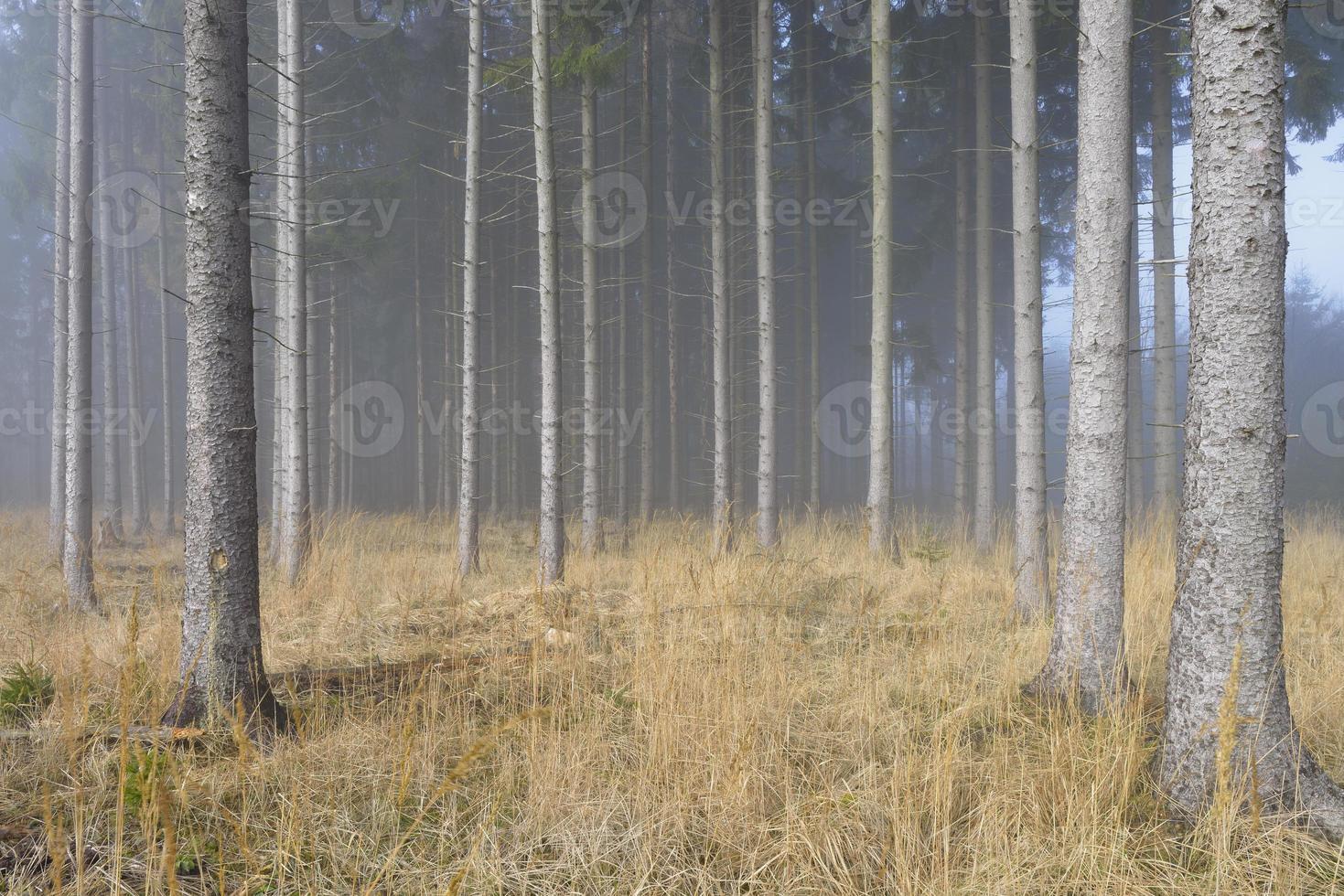 nebbia nella foresta di abete rosso naturale foto