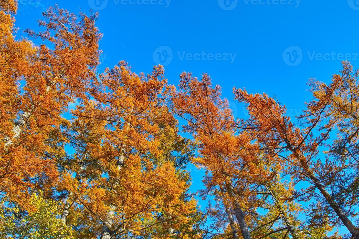 foglie d'autunno i boschi di larici a kamikochi foto