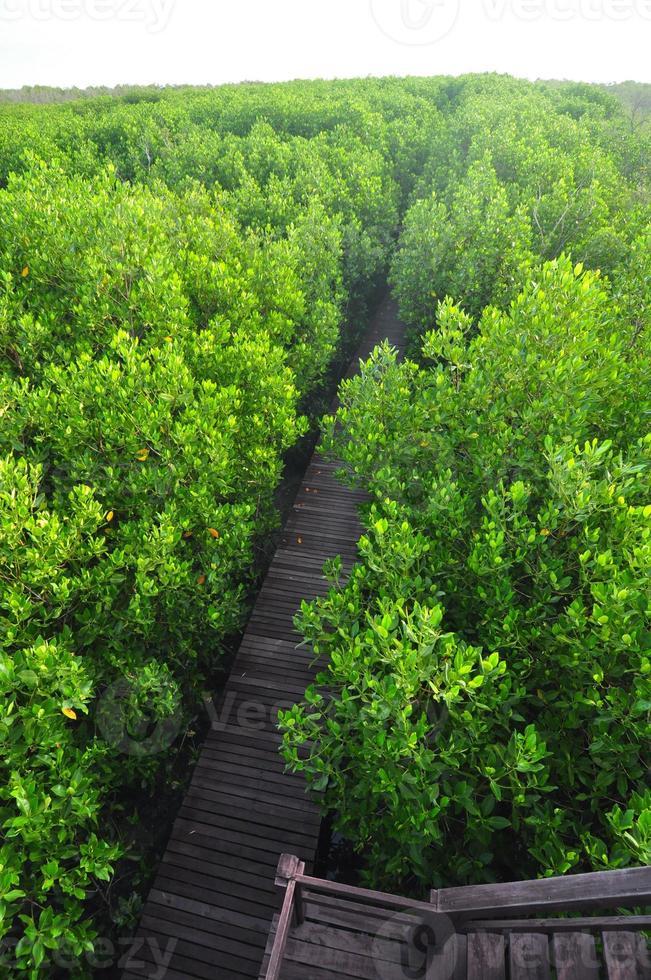 ponte di legno attraverso il rimboschimento di mangrovie a petchaburi foto