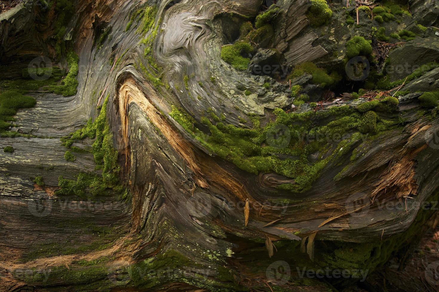 albero di sequoia di sfondo foto