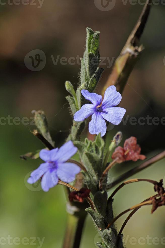 eranthemum roseum, roseo eranthemum, blu eranthemum, dasmuli foto