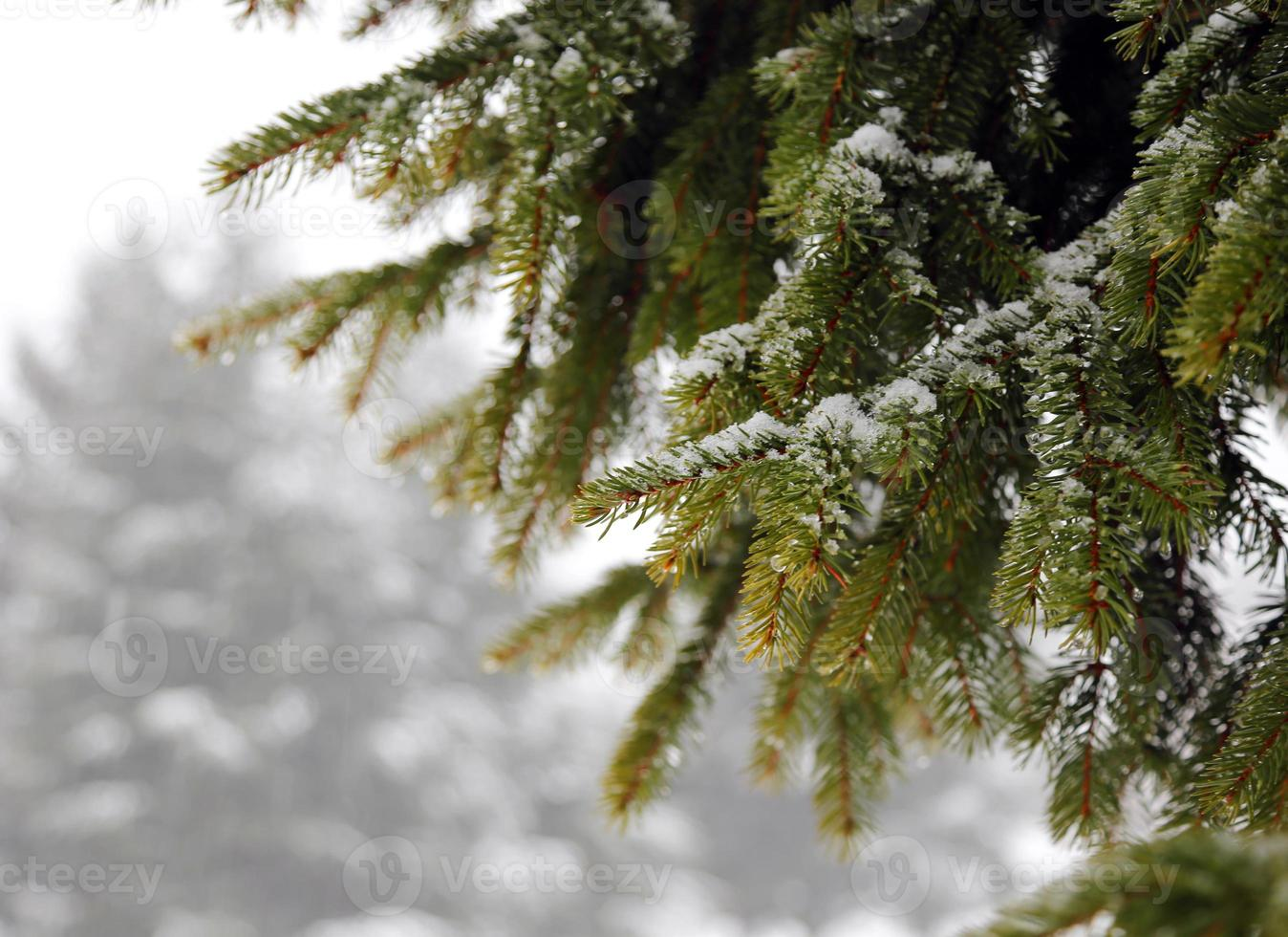 ramo di abete verde con neve in inverno foto