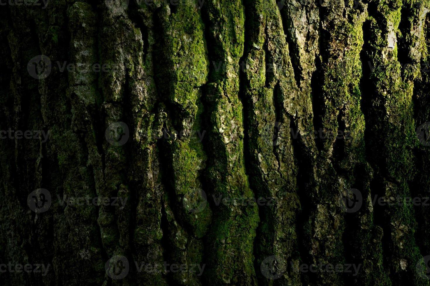 corteccia di quercia. foto
