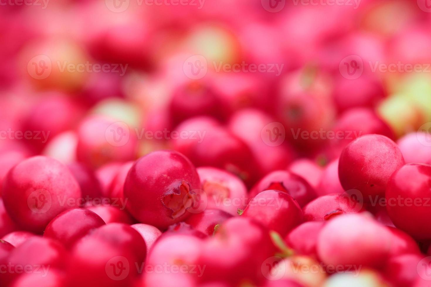sfondo di llingonberry foto