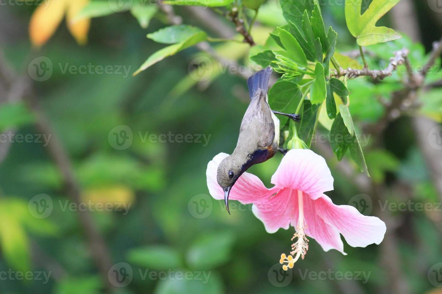 uccello del sole della Thailandia sfondo sul fiore foto