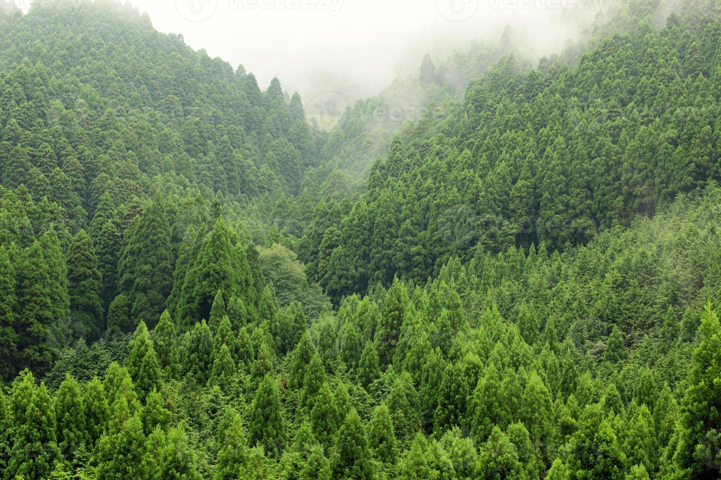 foresta di abete rosso di montagna sulla collina fith nebbia dietro foto