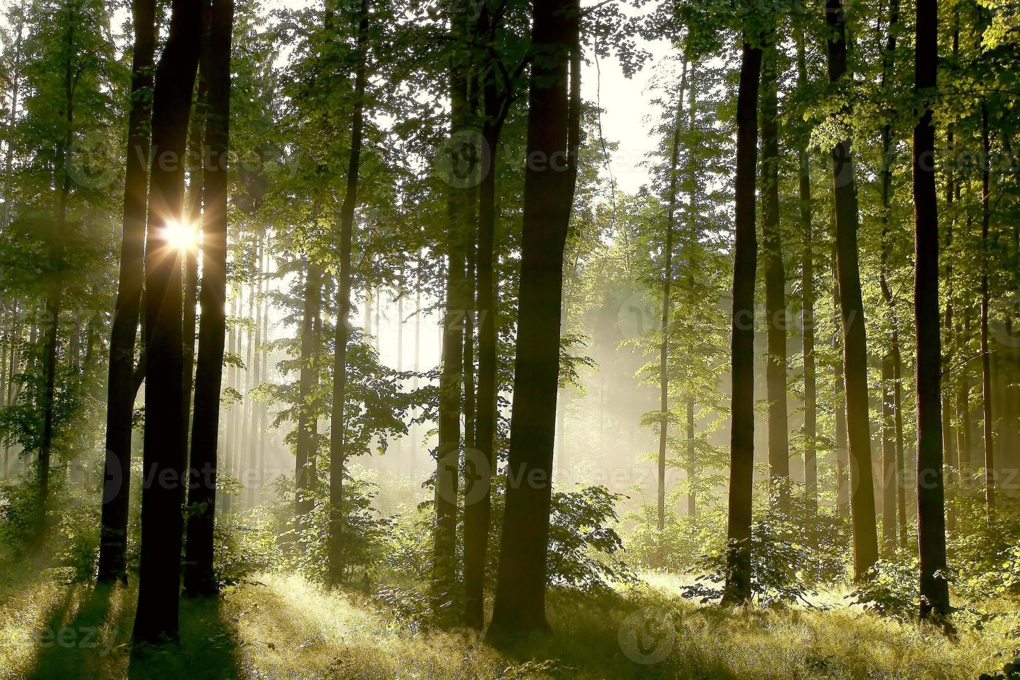 una nebbiosa mattina di primavera nel profondo di una foresta foto