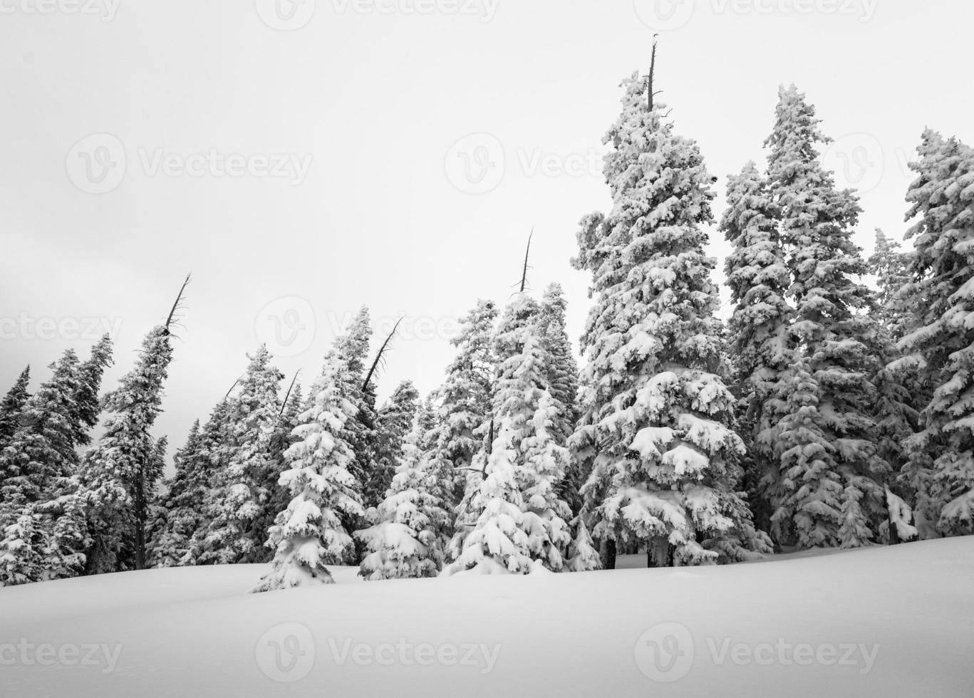 foresta di conifere invernale coperta di neve fotografia b & w foto