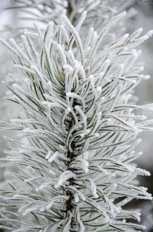 ramo di pino nel gelo invernale bianco foto