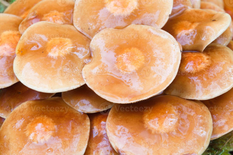 sfondo di funghi agaric, tappi bagnati dopo la pioggia foto