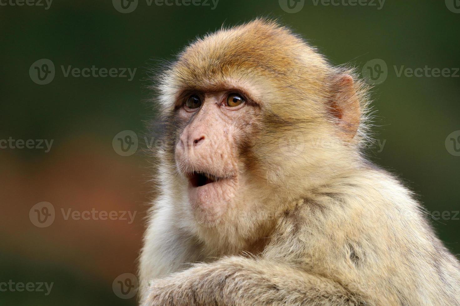 macaca sylvanus foto