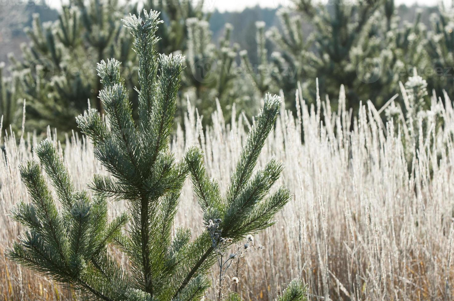 gelo autunnale sull'erba e sugli alberi foto