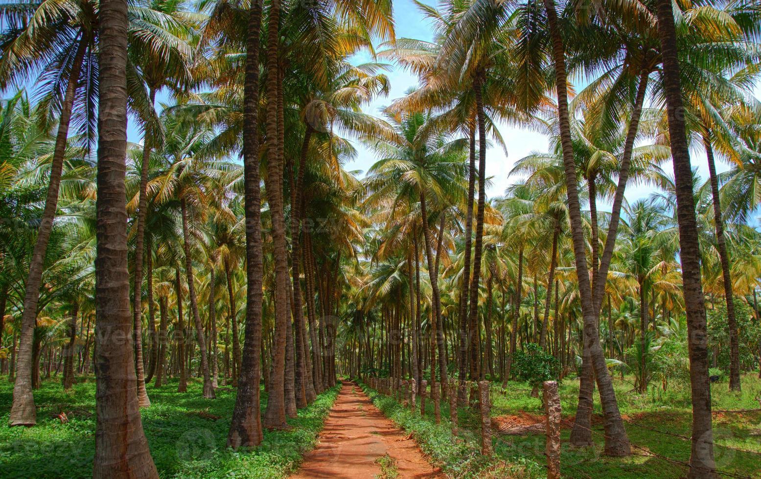 pianta di albero di cocco foto