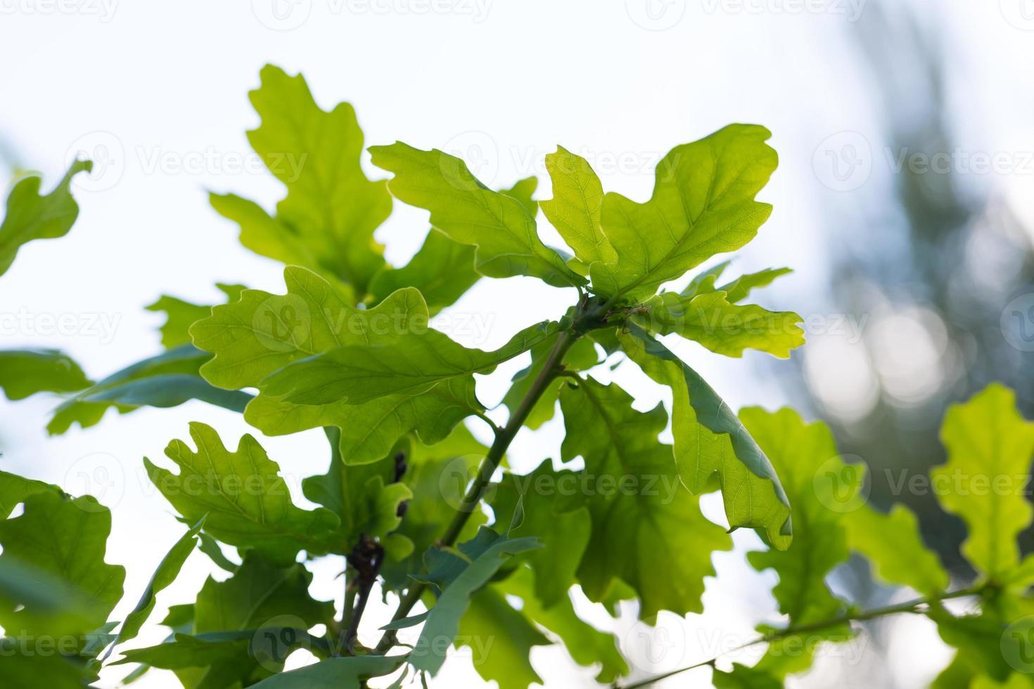giovani foglie di quercia sullo sfondo foto