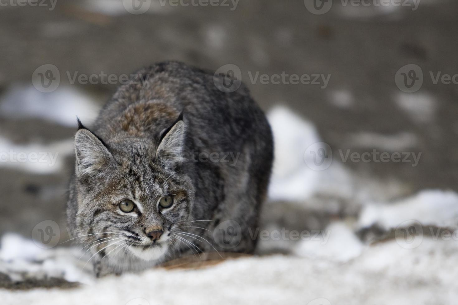 lince rossa foto