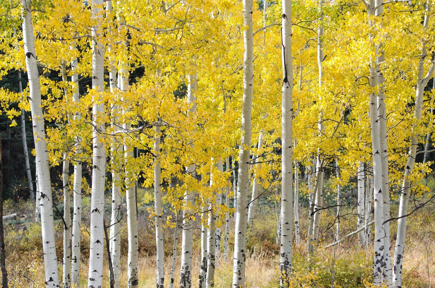 Aspen Autumn Wood, Colorado foto