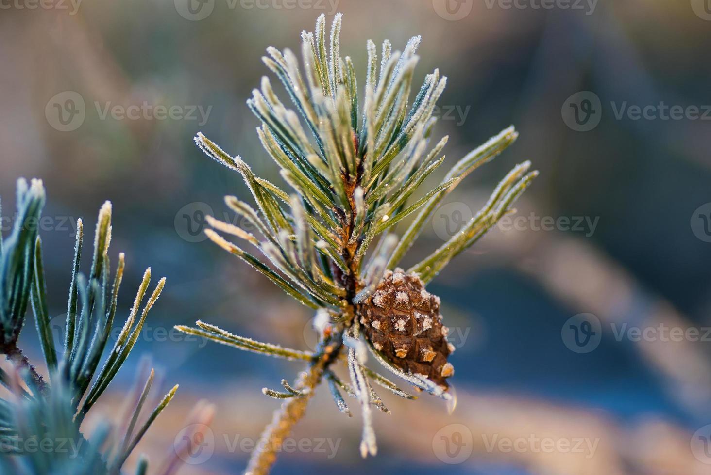 ramoscello di pino foto