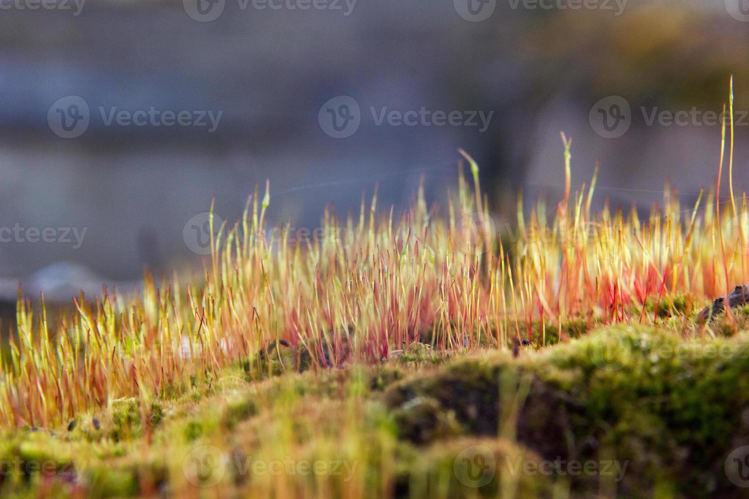 primo piano di un muschio colorato con spore. foto