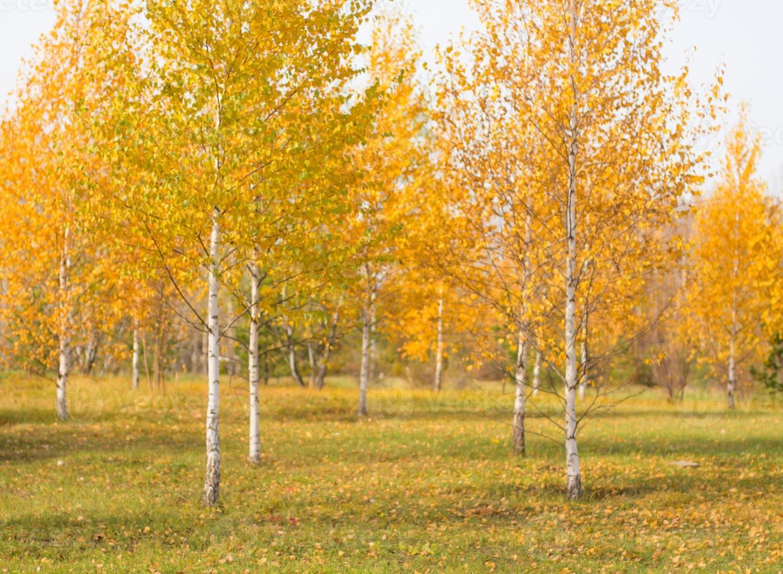 sfondo leggermente sfocato di alberi autunnali foto