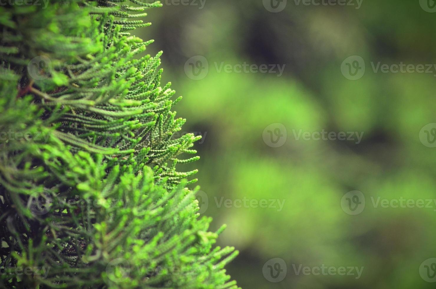 foglie di pino con sfondo vintage di colore verde morbido foto