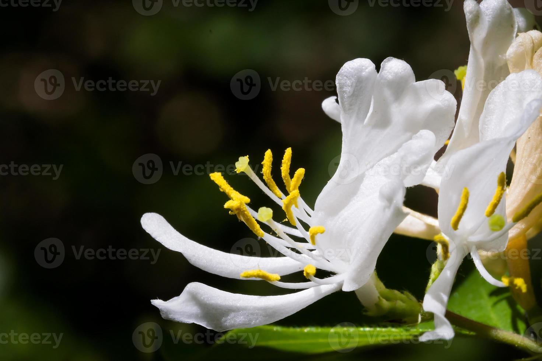 fiore di caprifoglio bianco foto