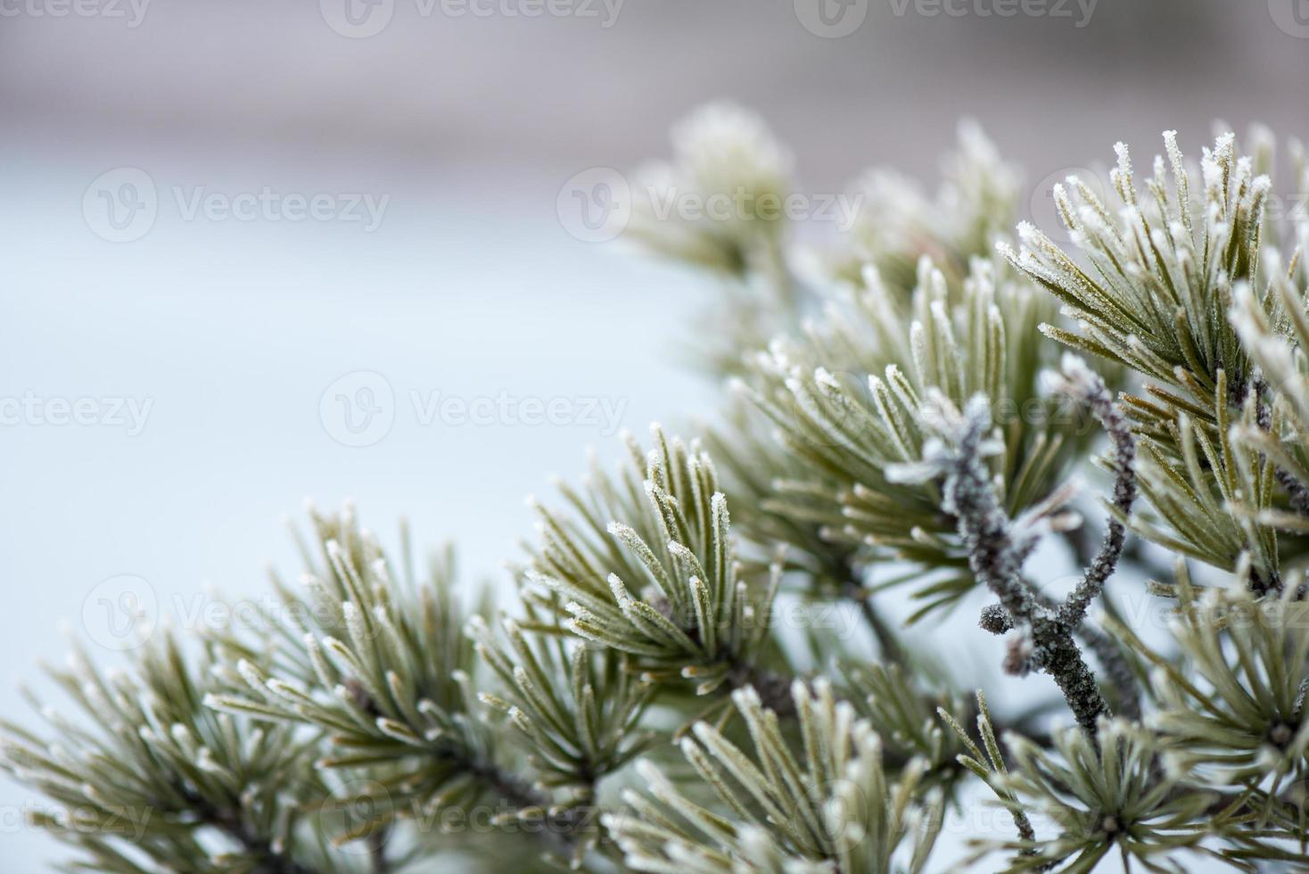 primo piano del pino con gelo foto