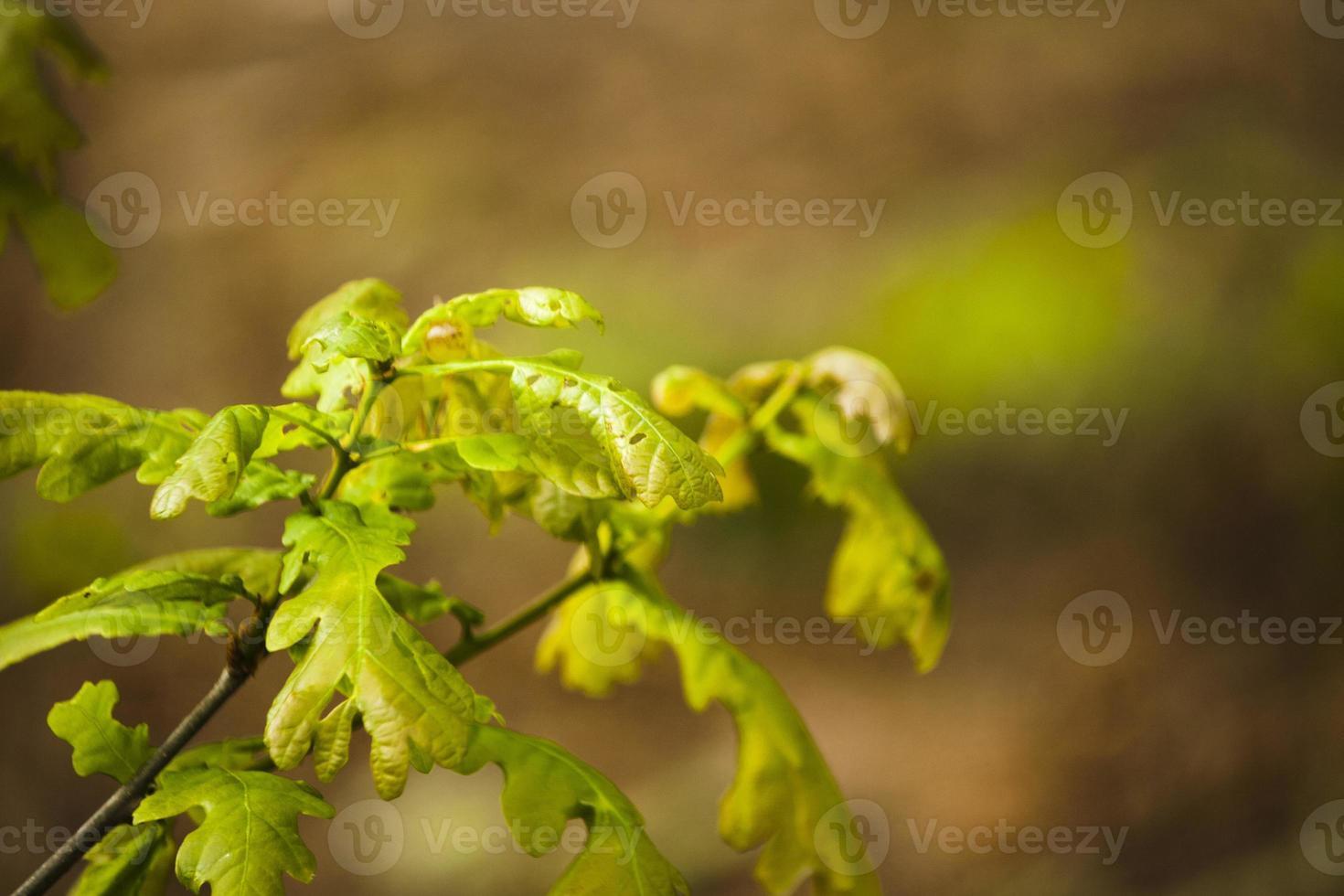 nuove foglie di quercia che crescono nei boschi foto