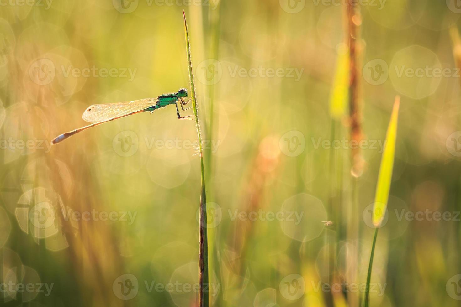 libellula sulla pianta foto