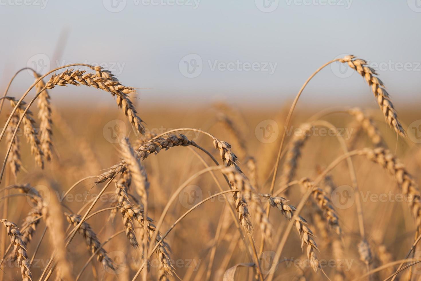 pianta di campo di agricoltura di grano o segale foto