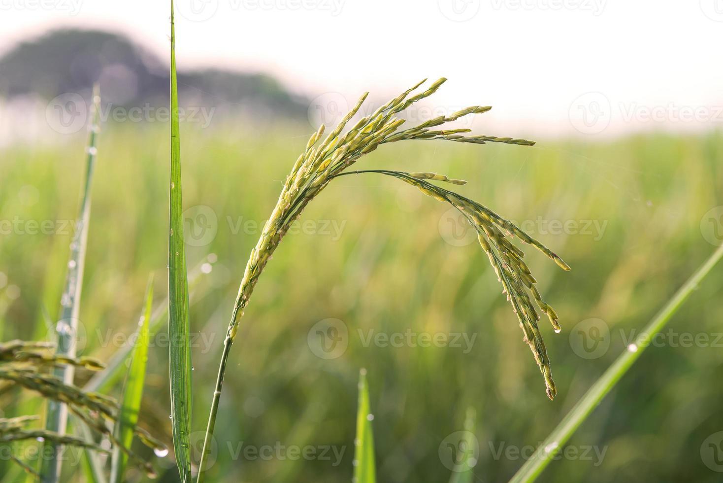picco di riso foto