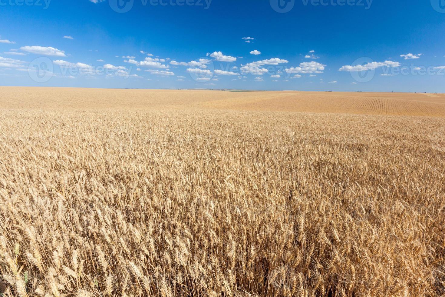 campo di riso dorato pronto per il raccolto con cielo blu foto