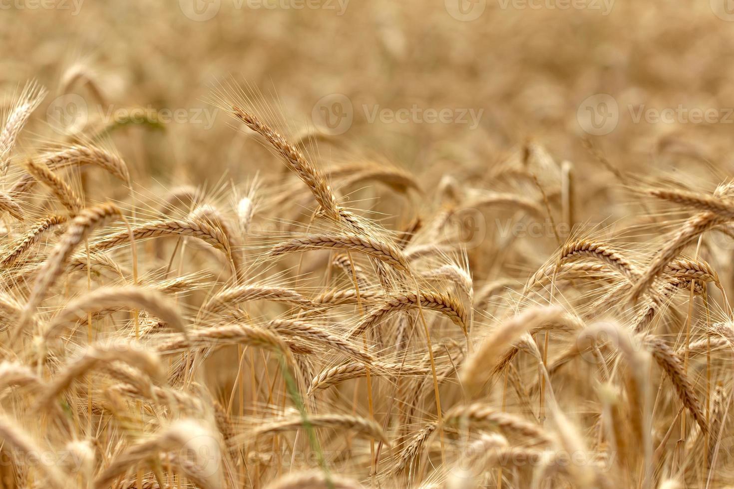 campo di grano - tempo per il raccolto foto