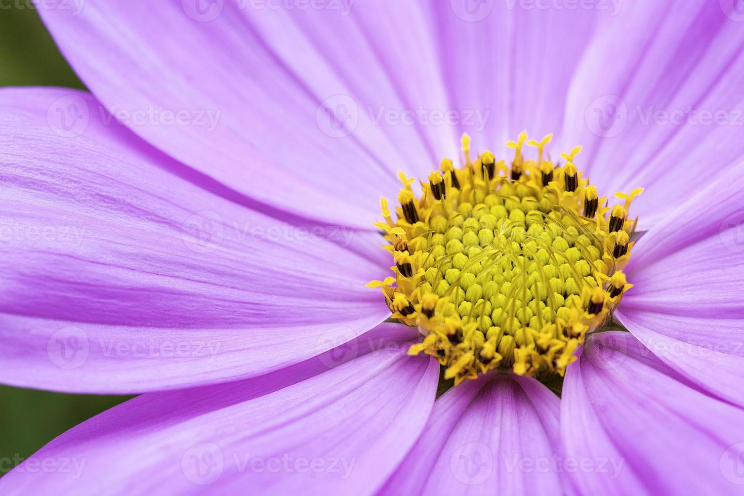 sfondo fiore cosmo foto