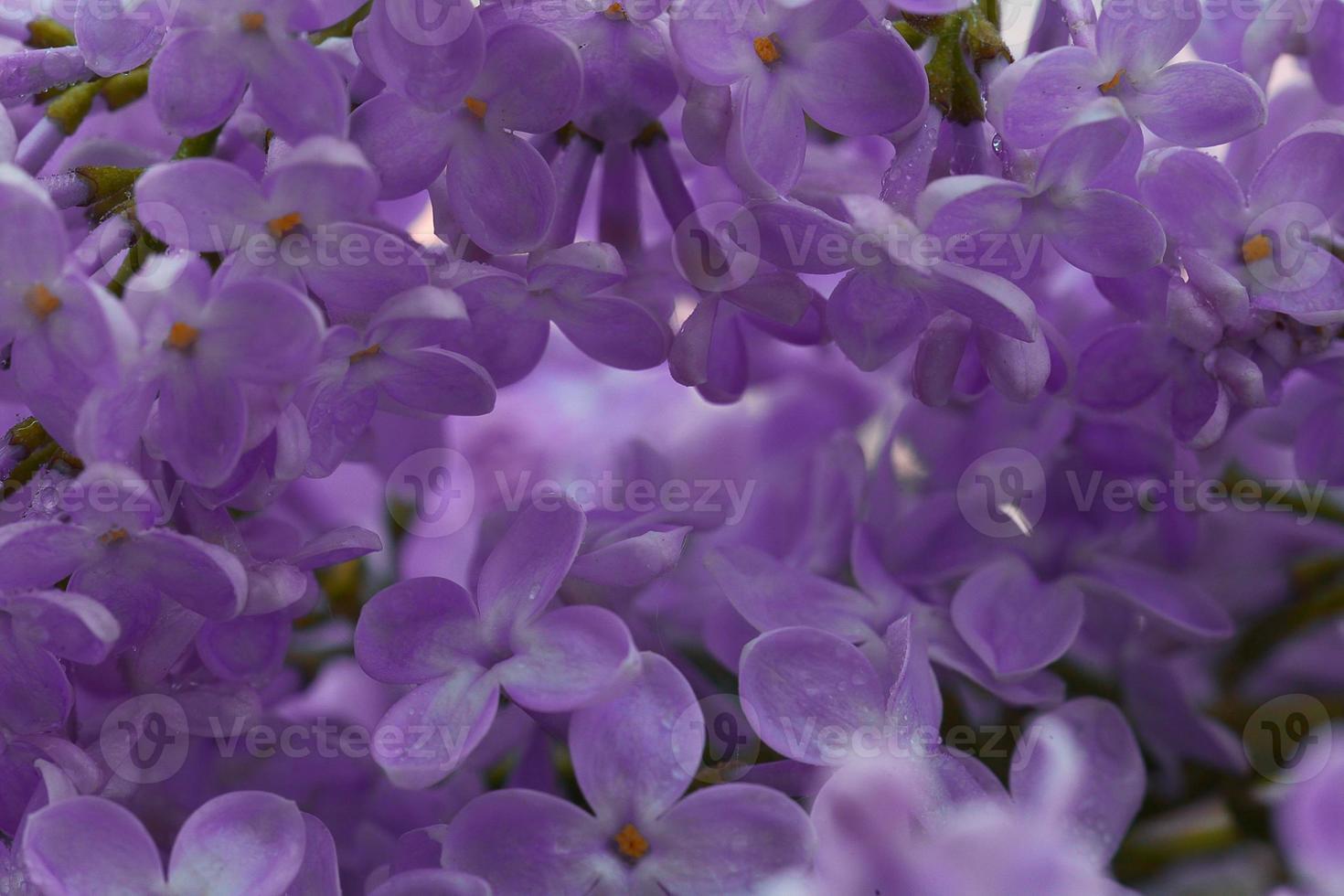 sfondo macro fiori lilla foto