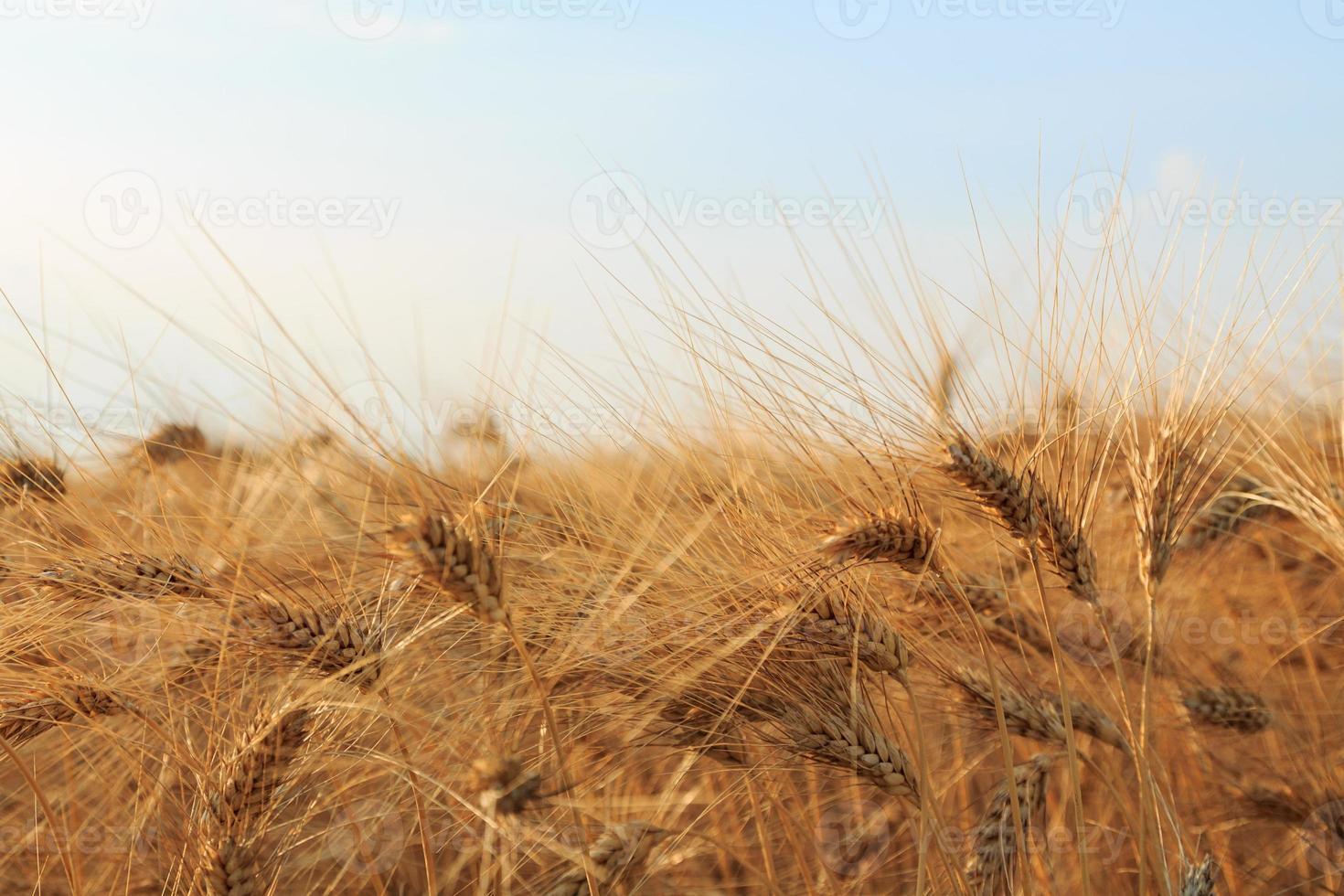 campo di grano giallo foto