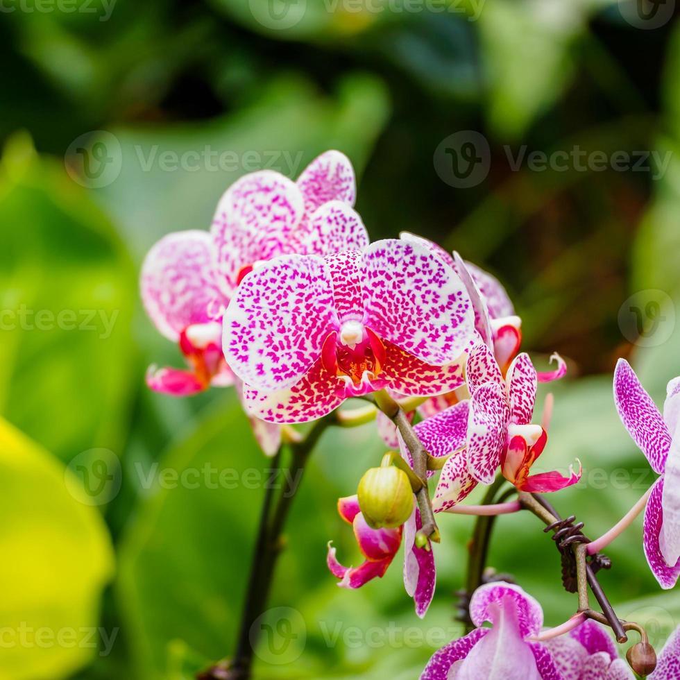 bellissime orchidee, phalaenopsis, in serra foto