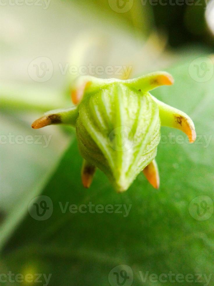 bocciolo di edera zucca fiore foto