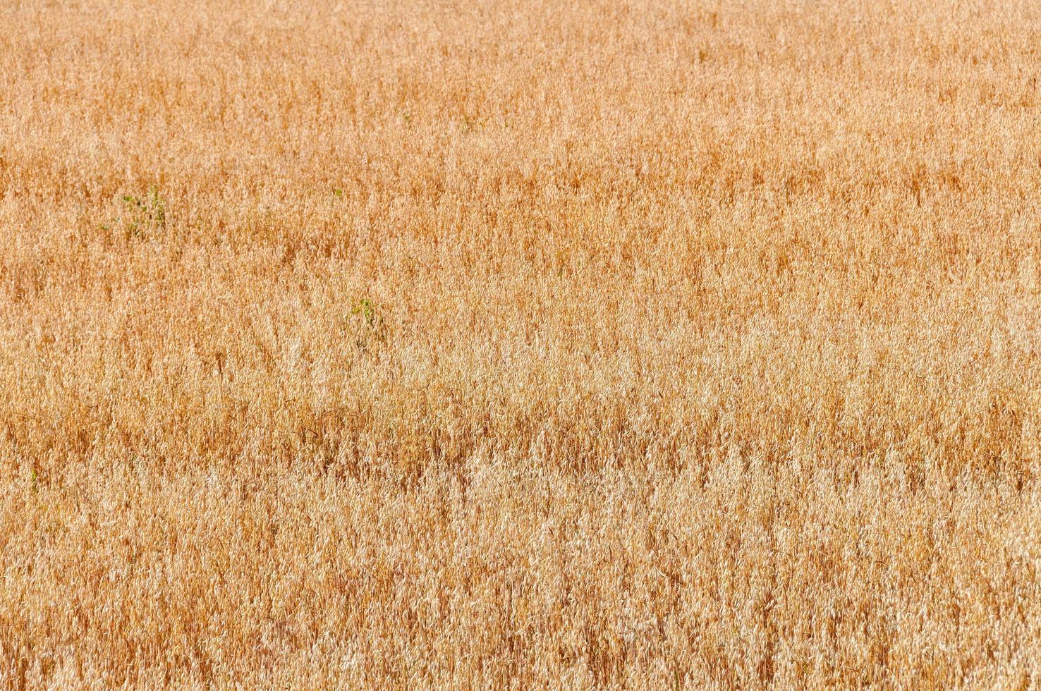 spighe di avena matura dorata sul campo dell'azienda agricola pronta per la raccolta foto