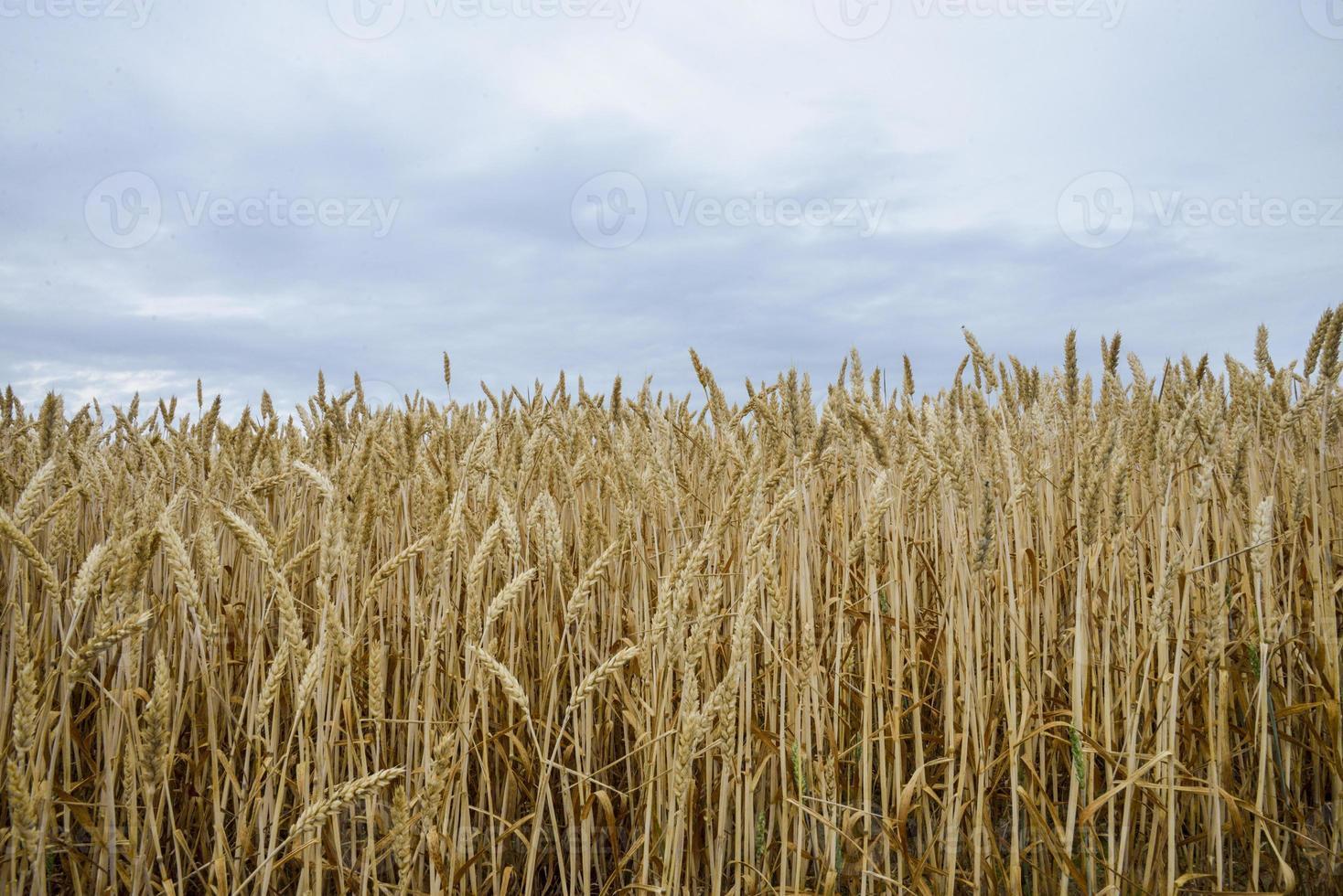 campo di orzo dorato 1 foto