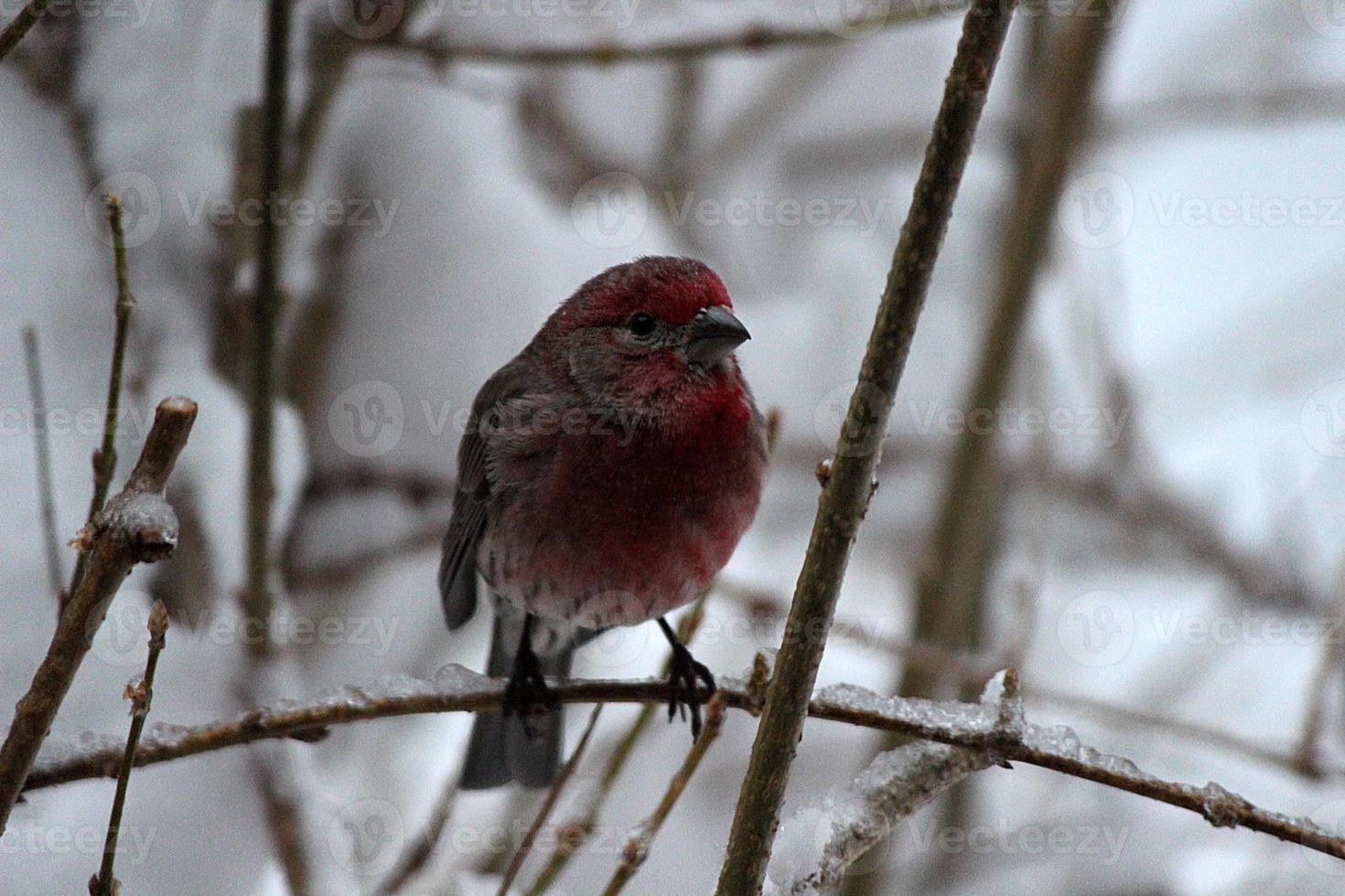 Close up di casa finch uccello appollaiato sul ramo congelato foto