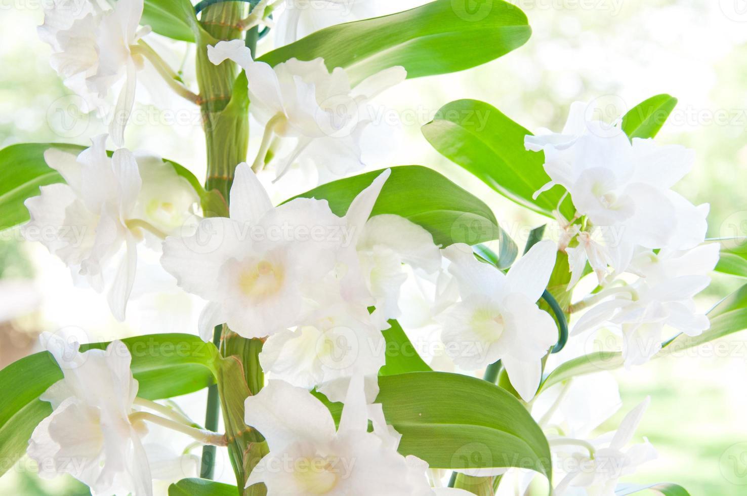 primo piano di una bellissima orchidea cattleya bianca foto