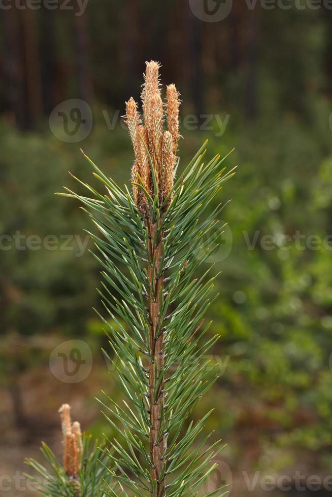 cima di un albero di pino con gemme foto