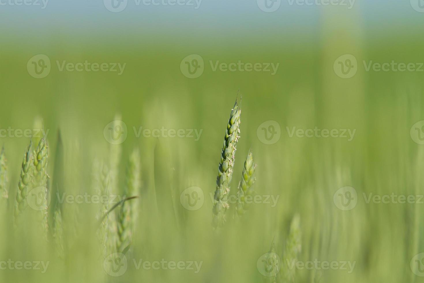 sfondo di campo di grano verde foto