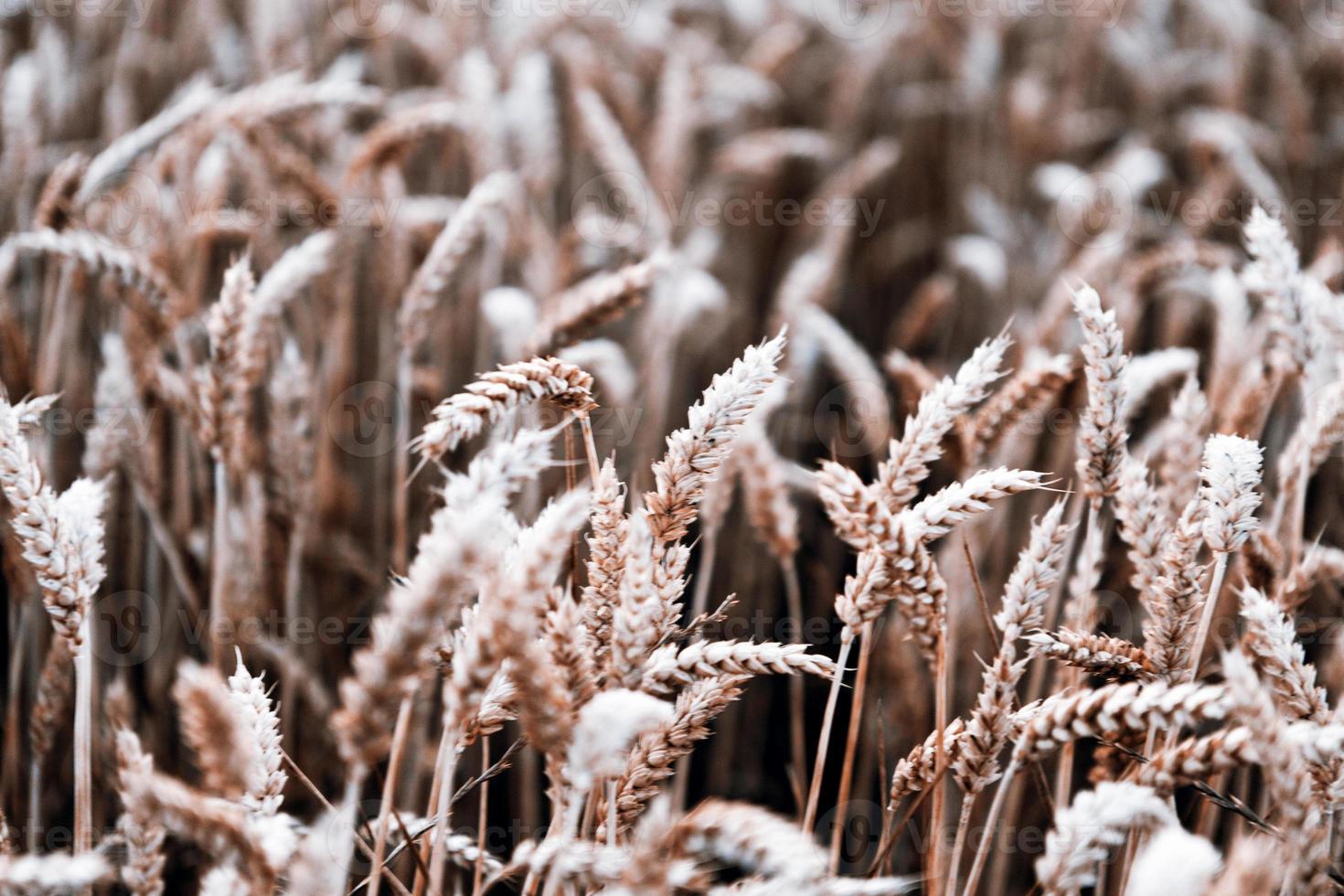 raccolto di grano foto