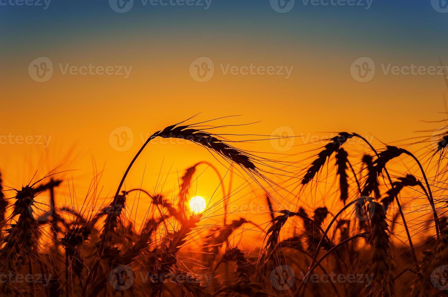 tramonto rosso sul campo con il raccolto foto
