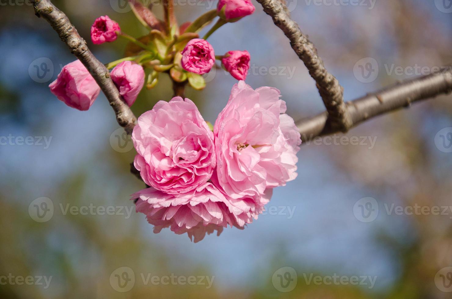 sakura: fiore di ciliegio sull'albero foto