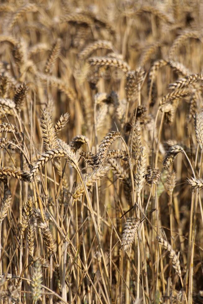 raccolto di grano al momento del raccolto foto