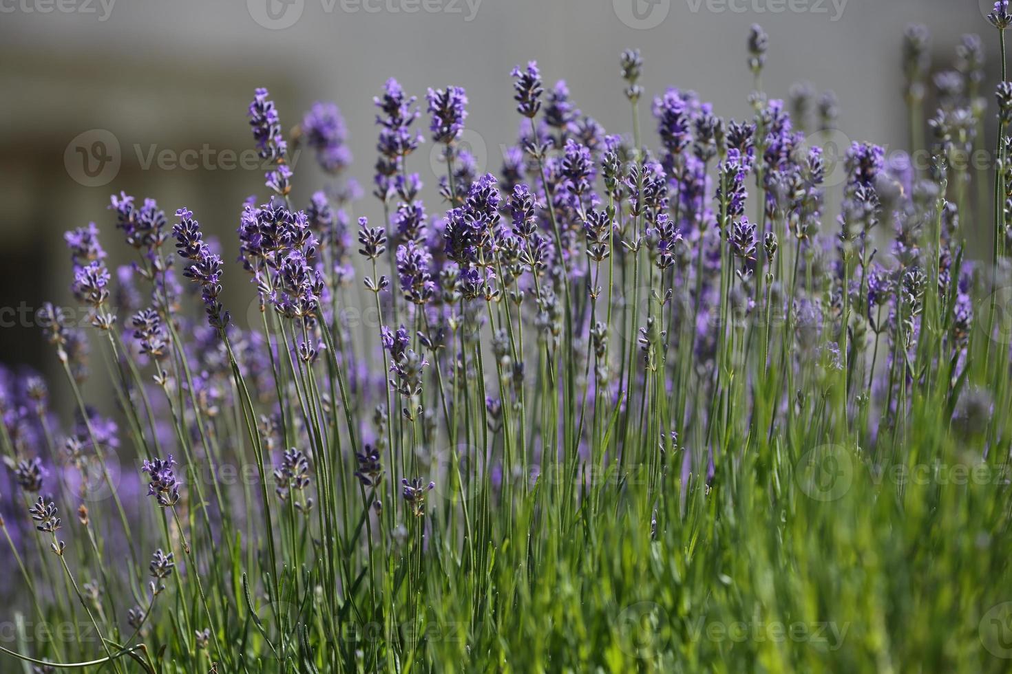 echter lavendel foto