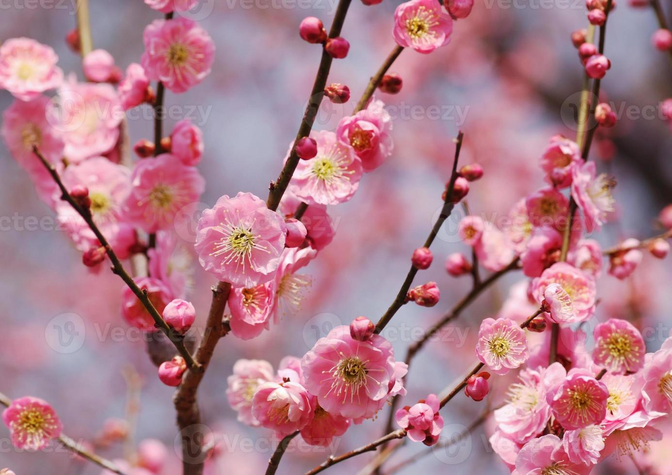 fioritura di prugne rosa in giappone foto