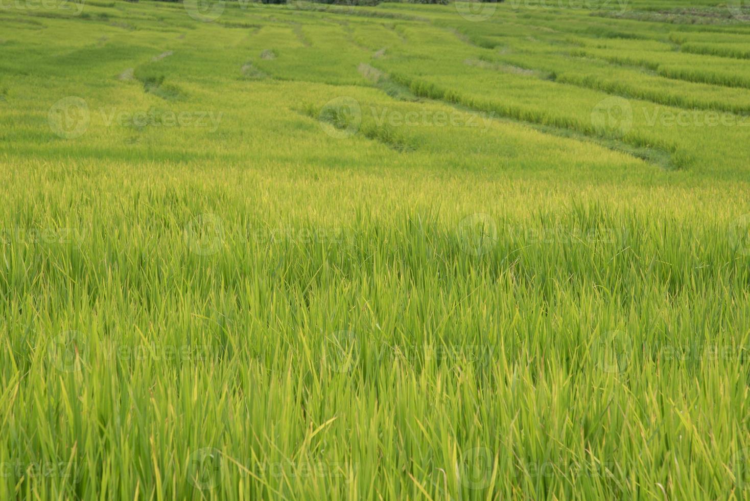 campi di riso verdi negli altopiani settentrionali della thailandia foto